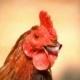 Chickenlips